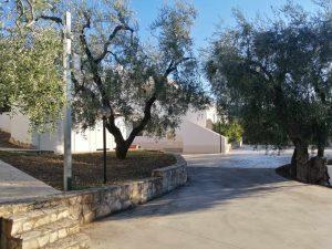 Vialetto con fresco degli alberi di ulivo