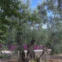 Ulivo secolare nel Parco del Gargano